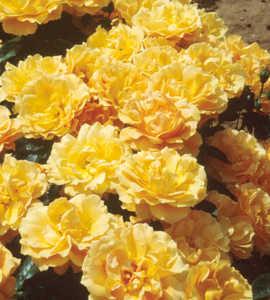 Rose, Floribunda 'Easy Going'™