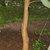 Hedges: Maclura pomifera