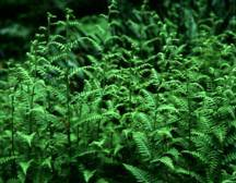 Fern, Hay-Scented