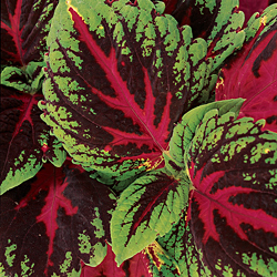 Red-coleus-seed.detail