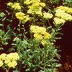 Yarrow, 'Anthea'