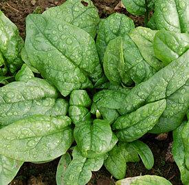 Organic-spinach.detail