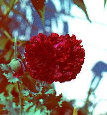 Poppy, Peony Black