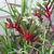 Perennials: Angiozanthos