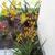 Perennials: Anigozanthos flavidus 'Yellow'