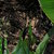 Calla_lilies_zantedeschia_edge_of_night-1.small