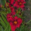 Daylilies_hemerocallis_frankly_scarlet-2.thumb
