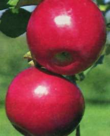 Apple Tree, Semi-dwarf 'Jonafree'