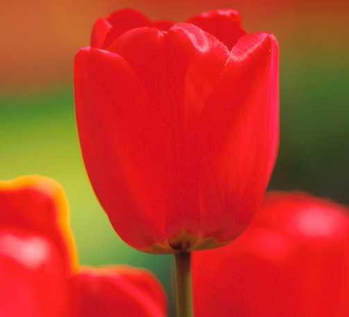 Tulips_tulipa_parade-1.full