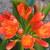Lilies_clivia_miniata-2.small