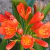 Lilies_clivia_miniata-2.thumb