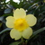 Carolina_yellow_jasmine_122709.small