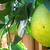 Frog_and_a_navel_orange_trying_to_ripen_on_the_tree_122409.small