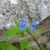 Blue_blooms_-_actually_a_weed_but_pretty_.small