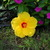 Fort_meyers_hibiscus_with_fuscia_vinca.small