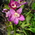 Ground_orchid_122709.small