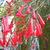 Firecracker_plant_122709.small