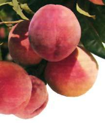 Peach Tree, Standard 'Burbank® July Elberta'