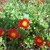 Moss_roses_enjoying_the_sunny_afternoon_122709.small