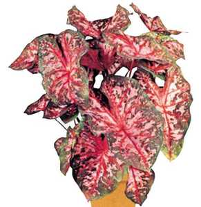 Caladium, 'Carolyn Whorton'