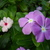 Pink_and_purple_vinca.small