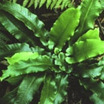 Fern, Hart's Tongue