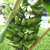 Bananas_ripening_on_the_vine_122709.small