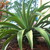 Agave_plant_after_blooming_-_lots_of_offshoots_at_the_base.small