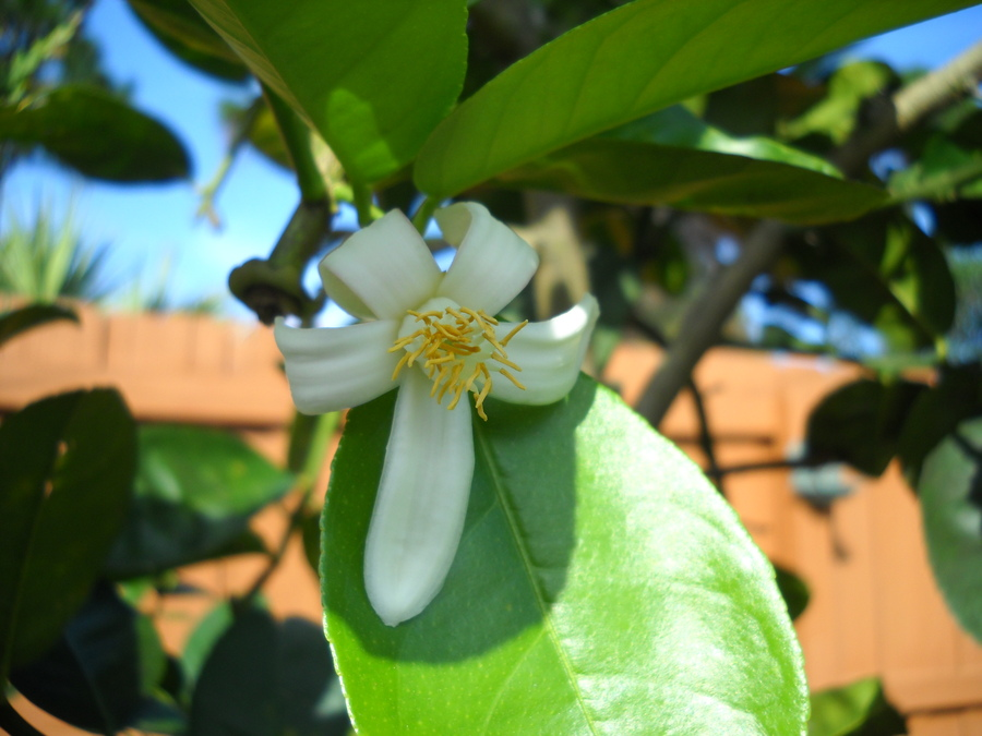 A_new_ponderosa_lemon_bloom_12272009.full