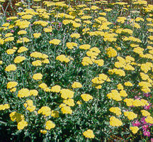 Yarrow, 'Moonshine'