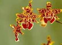 Odtna Orchid, 'Wildcat'