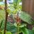 Pink_mandavilla_bud.small