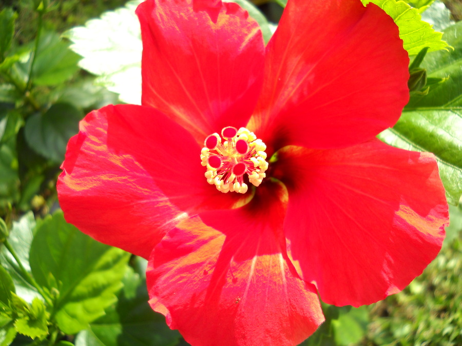 Red_and_yellow_hibiscus_122409.full