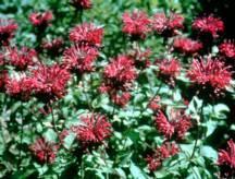 Herbs_monarda_purple_crown-1.full