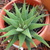 Aloe-type_succulent_122709.small