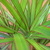 Dragon_plant.small