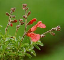 Sage, Autumn 'Coral'