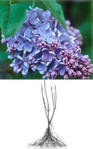 Lilac, Common Purple
