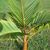 Young_bottle_palm_122709.small