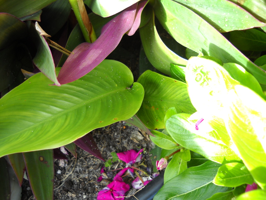 Heliconias_shoot_122409.full