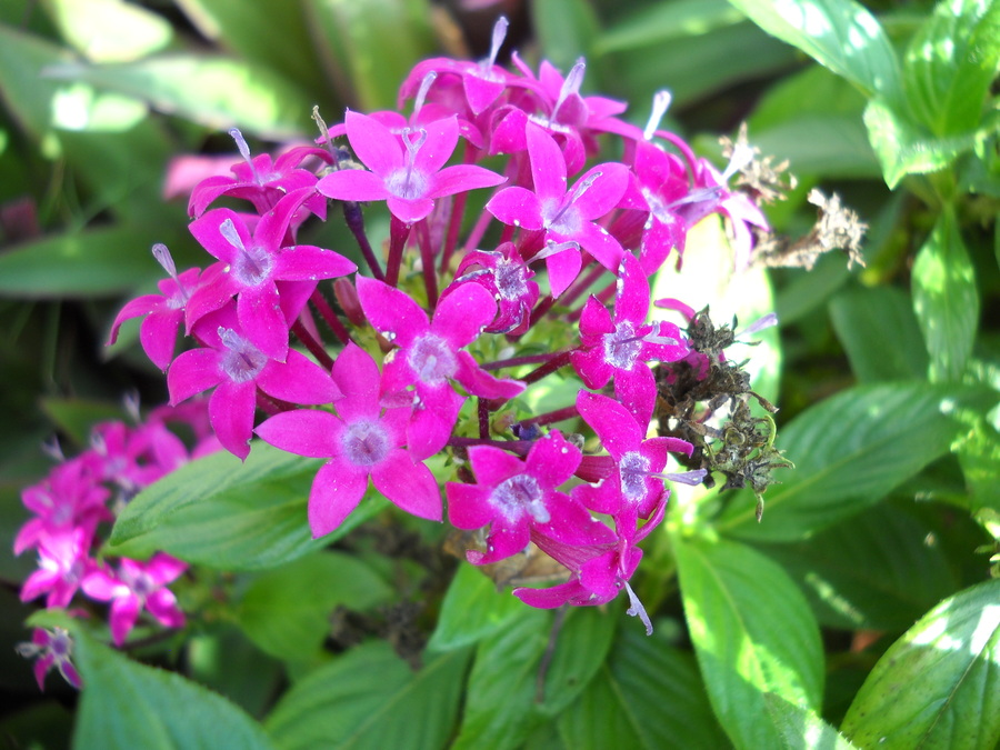 Purple_pentas_122709.full