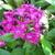 Purple_pentas_122709.small