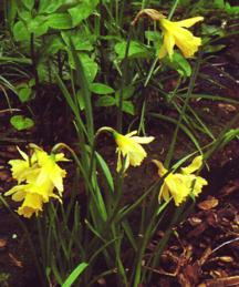 Daffodils_and_narcissus_narcissus_w.p._milner-1.full