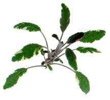 Sage, Tricolor