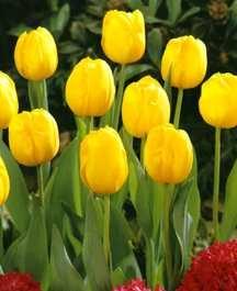Tulips_tulipa_bellona-1.full
