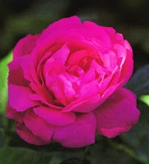 Rose, Antique Hybrid Perpetual 'American Beauty' (1875)