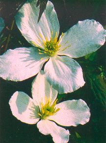 Clematis, Small-Flowered 'Grandiflora'
