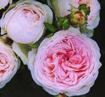 Rose, Antique Polyantha 'Clotilde Soupert' (1890)