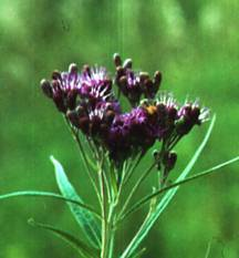 Vernonia, Ironweed