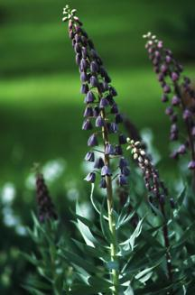 Bulbs_fritillaria_persica-1.full